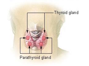 Illu_thyroid_parathyroid